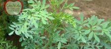 La planta que podría sanar la retención de líquidos, inflamaciones, varices, perder talla.