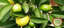 Utilice estas hojas para desaparecer el acné, arrugas, alergias de la piel y manchas oscuras.